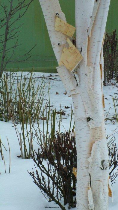 Witte Himalayaberk