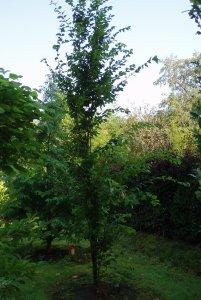 Carpinus betulus 'Fastigiata', Zuilbeuk