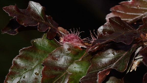 Beukhaag (Fagus sylv. 'Atropurpurea')