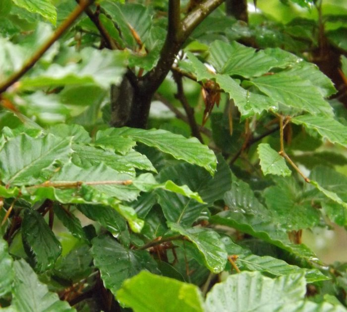 Beukhaag (Fagus sylvatica)
