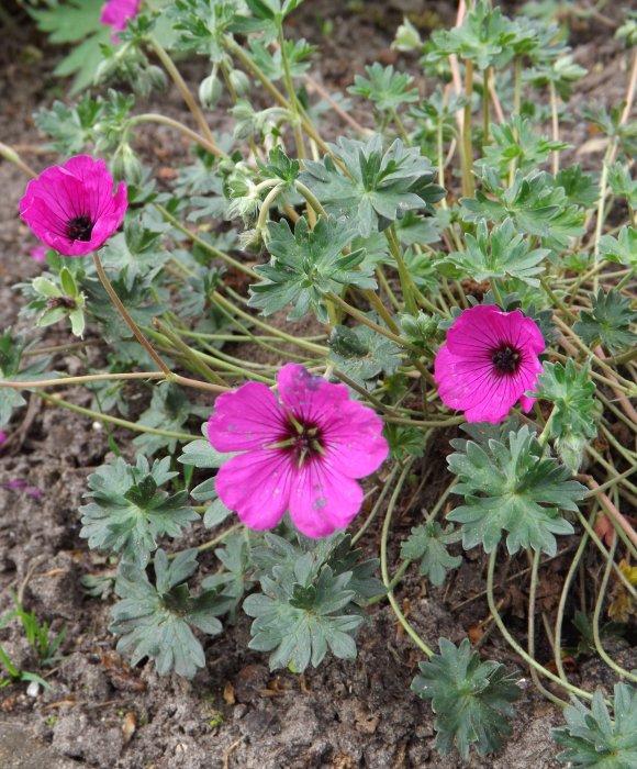 Geranium cin.var. subcaulescens