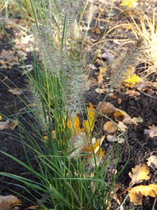Pennisetum alopecuroides 'Hameln'