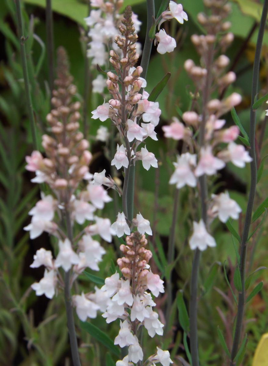 Linaria purpurea 'Canon J. Went'