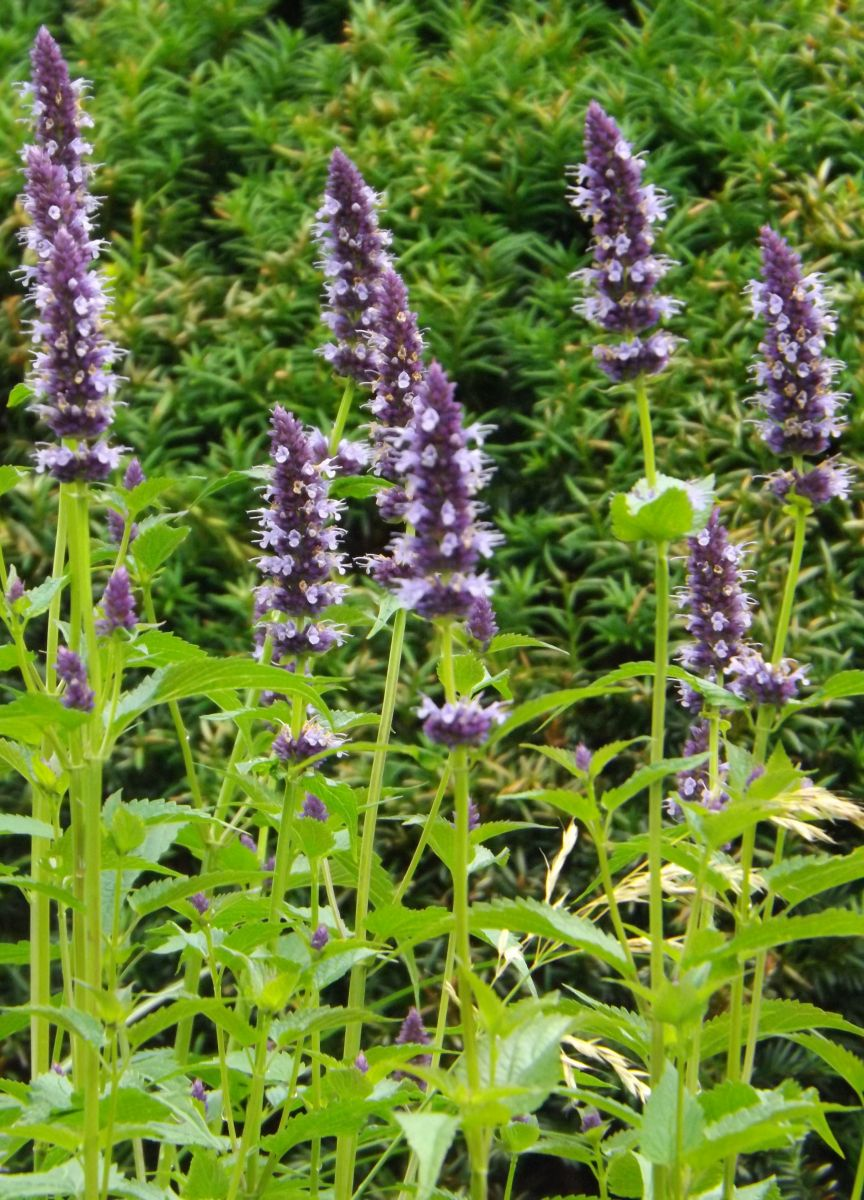 Agastache 'Black Adder'