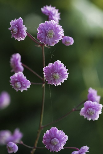 Thalictrum del. ' Hewitt's Double'