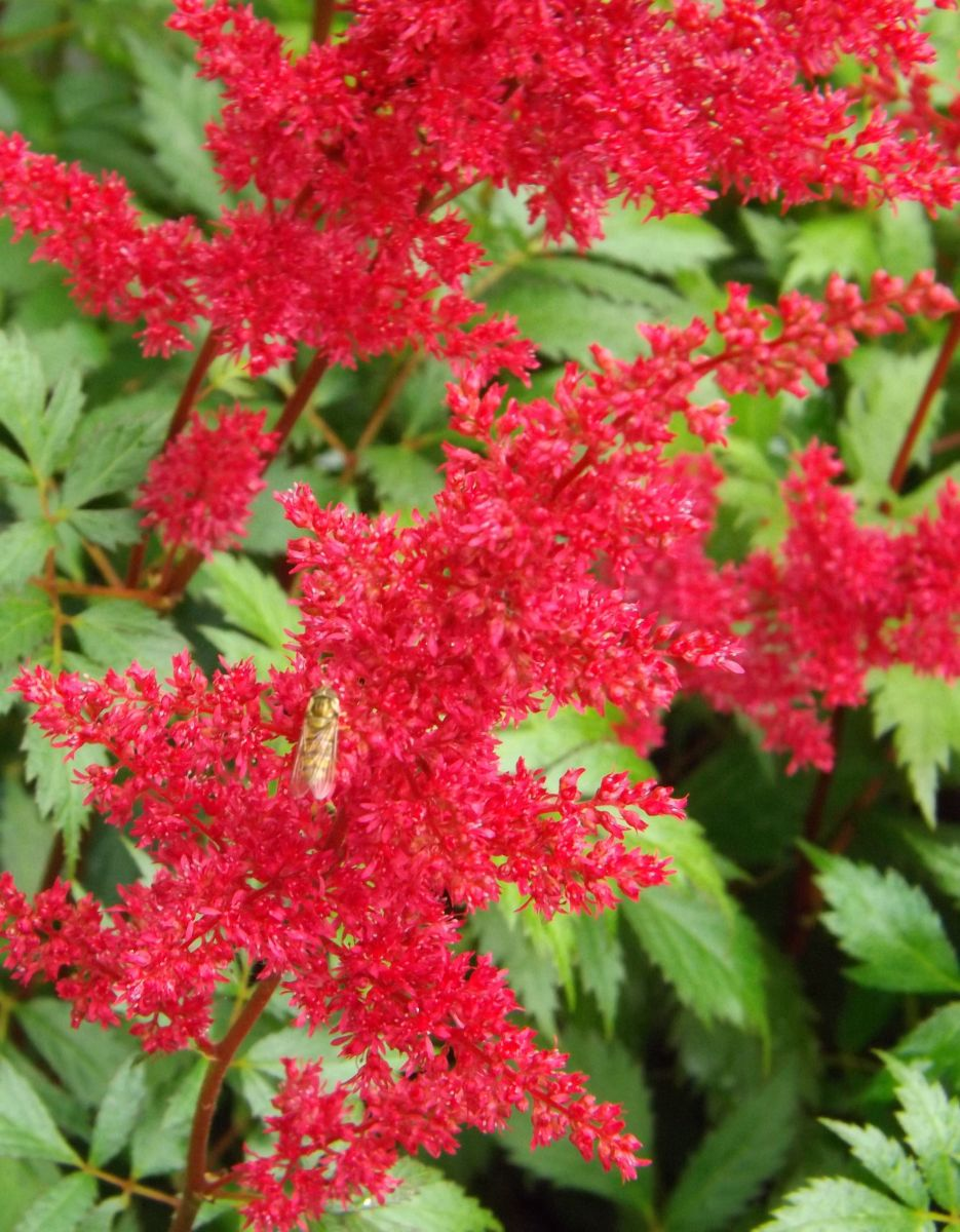 Astilbe (A) 'Fanal'
