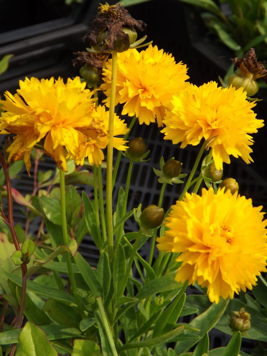Coreopsis grand. 'Early Sunrise'