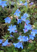 Lithodora d. 'Heavenly Blue'