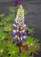 Lupinus 'The Governor'