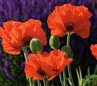 Papaver or. 'Brilliant'