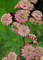 Astrantia maj. 'Ruby Wedding'